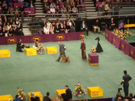 20080211-westminster-33-irish-terrier-_8.jpg