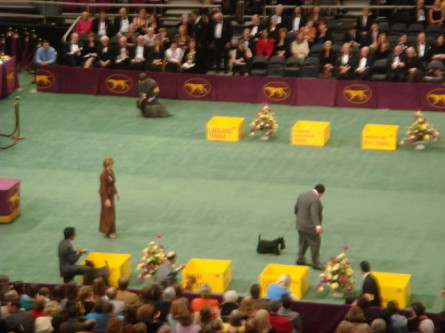 20080211-westminster-43-scottish-terrier-_8.jpg