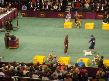 20080211-westminster-44-sealyham-terrier-_5.jpg