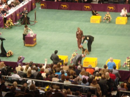 20080211-westminster-48-welsh-terrier-_11.jpg