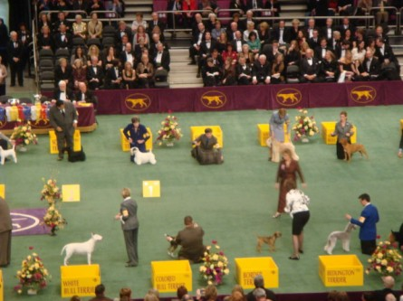 20080211-westminster-49-terrier-judging.jpg